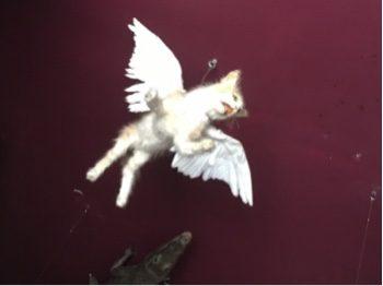 A winged kitten.