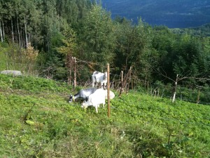 The Ghost gardeners. They have already cleared a very large area of land since June, and next year will be put out to work again, to chomp their way down the mountain.