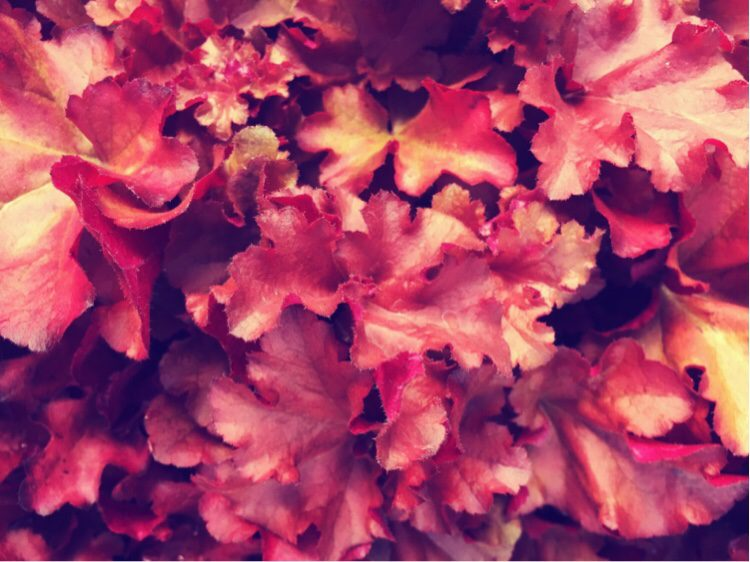 Cracking year round colour from Heuchera Boysenberry