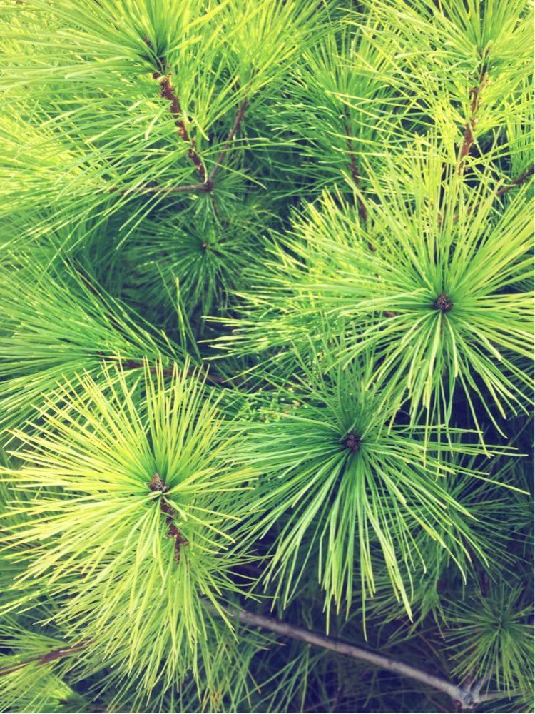 The wonderful texture of Pinus Strobus