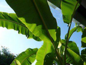Banana Musa acuminata